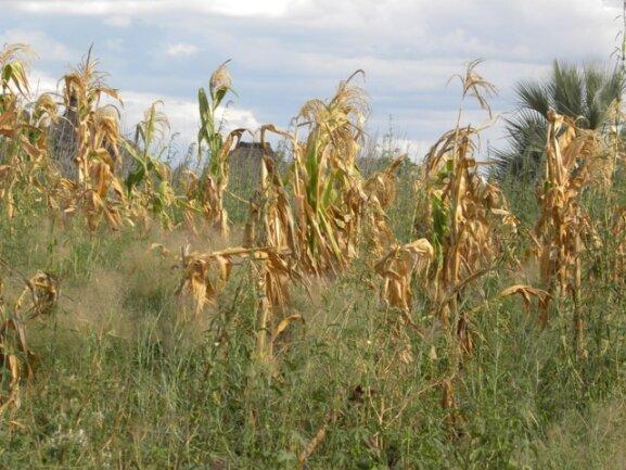 <p> Der Regen ist im Sommer ausgeblieben, die Felder sehen erbärmlich aus.</p>