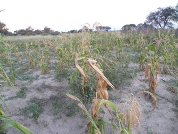 <p> Missernte, Mais und Mahango (Hirse) sind vertrocknet</p>