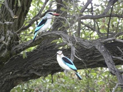 <p> Eisvögel, sie nisten in der Sandböschung am Okavango-Ufer</p>