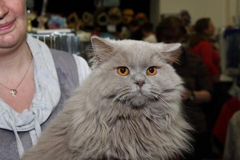 <p> … und zwar seinen Halbbruder Dr. Doolittle von der Ebersdorfer Höhe. Wie, der hat doch lange Haare …? Das ist nicht ungewöhnlich. Weil Züchter einst das Fell der Britisch-Kurzhaar-Katzen (BKH) verbessern wollten, kreuzten sie Perser ein. Aus dieser Zeit blieb bei den BKH ein rezessives Gen zurück, dass zuweilen zur Folge hat, dass in einem BKH-Wurf auch Kätzchen mit halblangem Fell zur Welt kommen. Diese Variante ist inzwischen als eigene Rasse anerkannt: Highlander.</p>