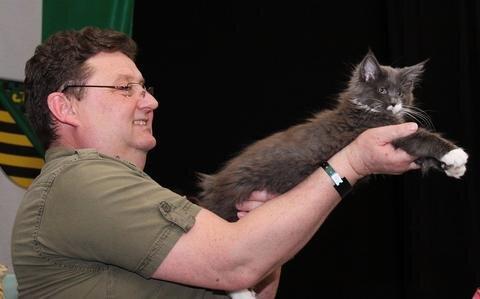 """<p> In Deutschland sind die """"Coonies"""" derzeit die am weitesten verbreitete Halblanghaar-Katzenrasse. Die Tiere sind ziemlich kräftig gebaut. Die größten Exemplare können bis zu zwölf Kilogramm schwer werden und von der Nasen- bis zur Schwanzspitze rund 120 Zentimeter messen. Die sanften Riesen gelten als intelligent, verspielt, anhänglich und familientauglich.</p>"""