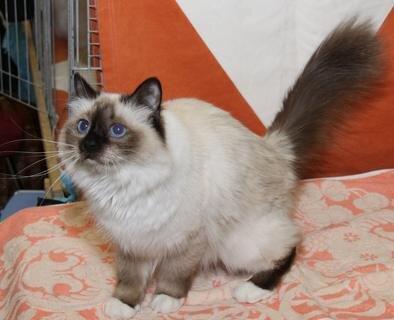 <p> Naomi von Dinau ist eine Heilige Birma in der Fellfarbe Sealpoint. Sie stammt aus dem Zwinger von Willibald und Brigitte Dechant in Dinau bei Regensburg. Birmas sind sanfte, sehr menschenbezogene Katzen mit halblangem Fell.</p>