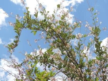 <p> Mbuze-Baum - wenn die Menschen im Busch durstig sind, trinken sie den Saft aus diesen Blüten</p>