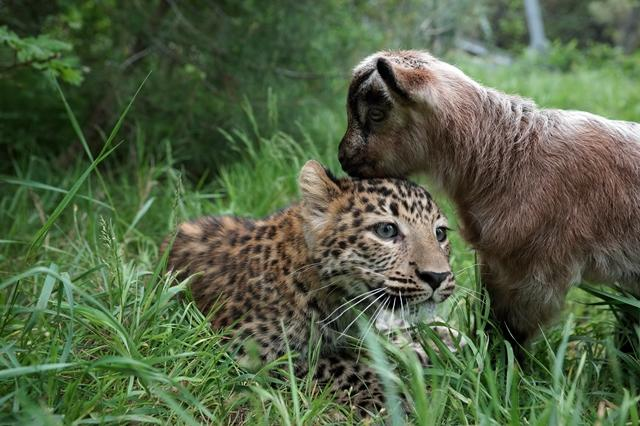 <p> Eine ungewöhnliche Freundschaft haben ein junger Leopard und eine kleine Bergziege im Zoo der russischen Schwarzmeerstadt Gelendschik geschlossen.</p>