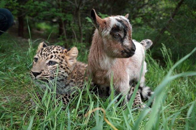 <p> Die noch namenlose Raubkatze und das Zicklein Warwara seien schier unzertrennlich, sagte eine Tierparksprecherin der Nachrichtenagentur dpa am Mittwoch.</p>