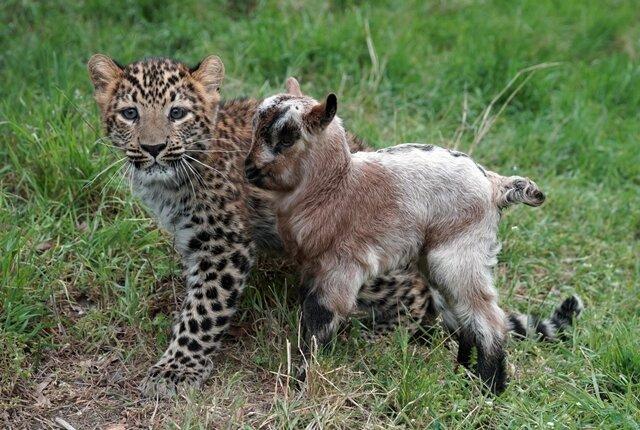 <p> Obwohl die Ziege für den Leoparden zur natürlichen Beute gehöre, spielten die nur wenige Monate alten Tiere ohne Aggression miteinander.</p>