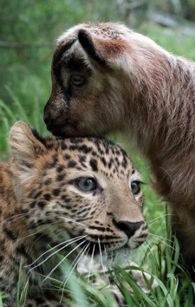 <p> Ungleiche Freundschaften gibt es in der Tierwelt immer wieder. Weltbekannt ist die der Kragenbärin Mäuschen und der Katze Muschi, die jahrelang im Berliner Zoo zusammengelebt hatten.</p>