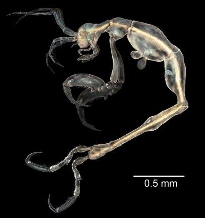 <p> Die transparente Mini-Krabbe (Liropus minusculus) entdeckten Forscher in einer Höhle auf der Insel Santa Catalina vor Südkalifornien. Die Männchen sind nur 3,3 Millimeter lang, die Weibchen sogar nur 2,1. Die Haut der Tiere, die nur sehr weit entfernt mit den als Delikatesse geltenden Krabben verwandt sind, ist durchsichtig, was ihnen ein gespenstisches Aussehen verleiht.</p> <p> Quelle: SINC (Servicio de Informacion y Noticias CientÌficas) J.M. Guerra-García)</p>
