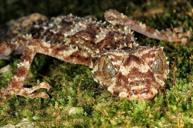 """<p> Den Gecko Saltuarius eximius entdeckten Wissenschaftler in Australien. Mit seinem bräunlich-weiß gefleckten Äußeren und seinem platten Schwanz, der einem Blatt ähnelt, passt sich das Tier perfekt seiner Umgebung an und ist extrem schwer zu finden. Er lebt im Regenwald oder in steinigen Gebieten, gilt den Wissenschaftlern zufolge als """"Nachteule"""" und scheint sehr selten zu sein. Der Gecko habe eine """"beunruhigende Ähnlichkeit zu einem erfundenen Monster"""", sagte der Biologe Antonio Valdecasas vom Naturmuseum in Madrid, der dem elfköpfigen Auswahlgremium vorsaß. Trotzdem hätten gerade der Gecko und die durchsichtige Mini-Krabbe ihn am meisten fasziniert. """"Es sind wunderschöne Bestien, würde ich sagen.""""</p> <p> Quelle: Conrad Hoskin /SUNY-ESF International Institute for Species Exploration</p>"""