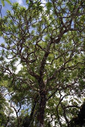 """<p> Andere Neuentdeckungen haben ganz andere Ausmaße: Zwölf Meter wird der Drachenbaum Dracaena kaweesakii groß. """"Es ist schwer zu glauben, dass er so lange nicht bemerkt wurde"""", kommentierten die Wissenschaftler. Der Baum mit den schwertförmigen Blättern und den cremefarbenen Blüten wachse in Thailand und möglicherweise in Myanmar - allerdings gebe es von der Art insgesamt wohl nur 2500 Stück.</p> <p> Quelle: Paul Wilkin/SUNY-ESF International Institute for Species Exploration</p>"""