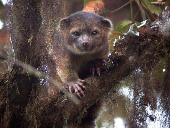 <p> Das Waschbär-ähnliche Raubtier Bassaricyon neblina, das im Nebelwald der kolumbianischen und ecuadorianischen Anden gefunden wurde, kann bis zu zwei Kilogramm schwer werden. Seit rund 35 Jahren ist den Forschern zufolge kein fleischfressendes Tier mehr in der westlichen Hemisphäre neu entdeckt worden.</p> <p> Quelle: Mark Gurney/CC BY 3.0/SUNY-ESF International Institute for Species Exploration</p>