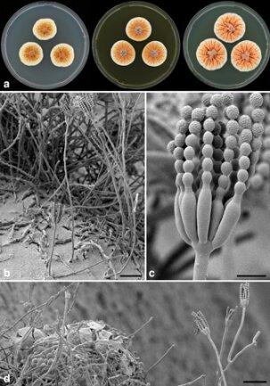 <p> Der in Tunesien gefundene Pilz Penicillium vanoranjei färbt sich orange und wurde deswegen der niederländischen Königsfamilie gewidmet.</p> <p> Quelle: Courtesy of Cobus M. Visagie/SUNY-ESF International Institute for Species Exploration</p>