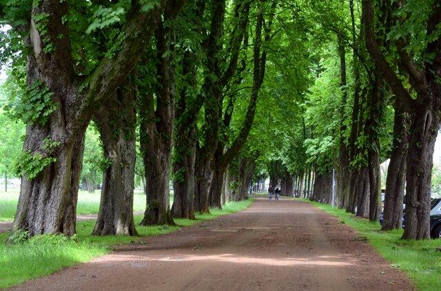 """<p> Sind es etwa in Hamburg noch einzelne Bäume des Kastanienbestandes, wird am Niederrhein seit etwa zwei Jahren sichtbar, wozu das tückische, wenn auch für Menschen ungefährliche Bakterium in der Lage ist: Ganze Straßenzüge und denkmalgeschützte Alleen sind ihm in Nordrhein-Westfalen inzwischen zum Opfer gefallen. """"Das ist in NRW schon sehr heftig"""", sagt Oliver Gaiser vom Hamburger Institut für Baumpflege, das bundesweit Proben mit Bakterienschleim zusammenträgt.<br /> <br /> </p>"""