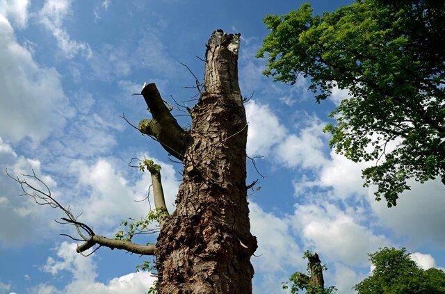 <p> Sollten nicht spezielle klimatische Gründe das Bakterium in Nordrhein-Westfalen begünstigen, ist es ein Vorgeschmack auf das, was dem Rest der Republik noch blüht - oder eben bald nicht mehr blüht. Allein in Krefeld mussten bislang 454 erkrankte Kastanien gefällt werden - jede siebte in der Stadt, berichtet ein Sprecher.<br /> </p>