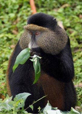 <p> Eine der seltensten Affenarten der Welt sind die Golden Monkeys (Goldmeerkatzen), die ausschließlich im Grenzgebiet zwischen Ruanda, Uganda und dem Kongo leben.</p>