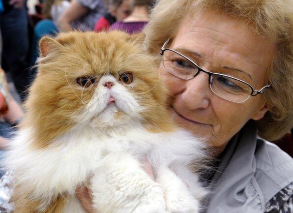 <p> Das Wochenende in Chemnitz stand ganz im Zeichen der Katzen. Im Bild: Brigitte Jiranek aus Meerane mit ihrem elf Jahre alten Perserkater Dilemma Cat's Very Special of Hasensteig.</p>