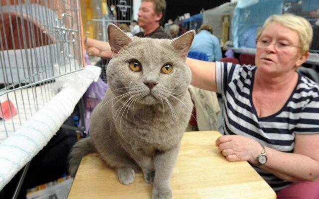 <p> Bettina Meißner aus Meerane stellten ihren Gary vom Adlersgrund, eine Britisch Kurzhaar-Katze, vor.</p>