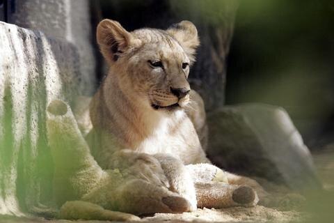 <p>2. März: Abschied von Kimba: Die Angolalöwin war an einer Gebärmuttervereiterung erkrankt und im Chemnitzer Tierpark mit nur zwölf Jahren verstorben. Wegen eines Tumors in der Maulhöhle verendete im Oktober auch die Tigerdame Taiga in dem Tierpark.</p>