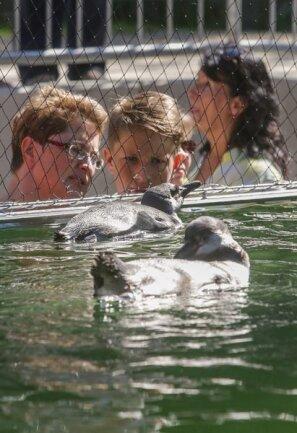 <p>19. August: Besucher des Amerika-Tierparks in Limbach-Oberfrohna musst aufpassen: Es konnte sein, dass sie sonst eine Dusche verpasst bekommen hätten – verursacht von Pinguinen. Wenn diese direkt bis an die Glasscheibe ihres Beckens schwimmen und dann mit den Flügeln schlagen, schwappte Wasser aus dem Becken. Wer dann direkt an der Scheibe stand, um die Humboldt-Pinguine anzuschauen, wurde schnell platschnass. Die Eröffnung der Anlage ließ erahnen, welches Potenzial die neue Attraktion hat. Allein in den ersten Stunden drängten sich 400 Besucher vor dem Becken.</p>