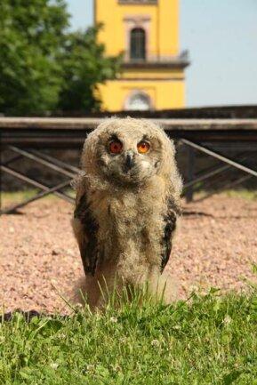 <p>9. Juni: Ein sieben Wochen alter Uhu ist der neueste Star des Sächsischen Adler- und Jagdfalkenhofs in Augustusburg. Der Baby-Raubvogel, der von seinen Besitzern den Namen Karl erhielt, war am 19. April geschlüpft und ist eines von insgesamt 30 Tieren von Falkner Michael Löbel und Mitarbeiterin Antje Richter. Die Falknerei, unmittelbar neben der alten Linde am Schloss Augustusburg gelegen, besteht seit 1992.</p>