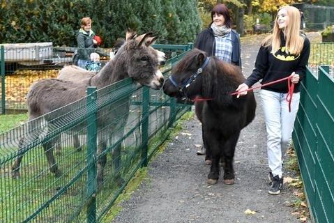 <p>5. November: Das dicke Pony Idefix, berühmt, weil es von Besuchern des Freiberger Tierparks dick und rund gefüttert worden war, legte nach Abnehm-Erfolgen 2016 wieder zu. Das Tier bringt inzwischen wieder etwa 220 Kilogramm auf die Waage. Noch im Mai dieses Jahres hatte der Rappe 160 Kilo gewogen. Der Jo-Jo-Effekt, sagte Tierparkchef Peter Heinrich und verordnete wöchentliches Lauftraining. Also gehen Moppelpony Idefix, Maria Scharkus, Mitglied im Tierparkförderverein, und ihre Mutter Grit Scharkus regelmäßig spazieren. Der Rappe begrüßt bei seiner Runde natürlich auch die beiden Esel Christoph und Ella und lässt sich so gern ablenken. Denn: Allzu viel Lust zum Sporttreiben hat der Rappe nicht. Mitunter bleibt Idefix bei der Runde einfach stehen. Mit gutem Zureden bringt Maria Scharkus das Moppelpony aber wieder in Bewegung. Das sonntägliche Programm dauert – inklusive Striegel-Wohlfühlprogramm – zwei Stunden. Obwohl der Jo-Jo-Effekt zugeschlagen hat, wird die Diät im Winter aber wieder abgesetzt. Denn: Mit etwas Speck übersteht Idefix die Kälte besser, sagt der Tierparkchef.</p>