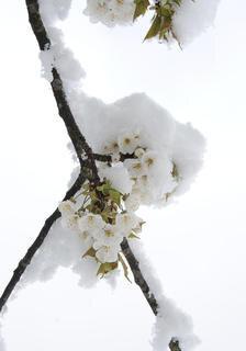 <p>Blüten wurden vom Schnee eingehüllt.</p>