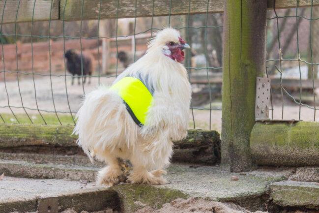 <p>Auf die Idee kam Tierparkchefin Bärbel Schroller, nachdem eine Freundin aus Österreich auf Facebook ein Foto von ebensolchen Westen für normale Hühner gepostet hatte.</p>