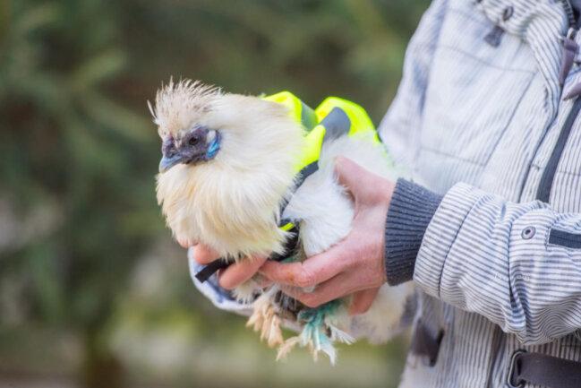 <p>Denn im Moment sind die frostempfindlichen Zwergseidenhühner im Winterstall.</p>