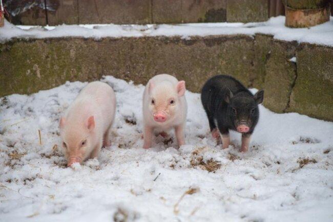 <p>Noch bis Mitte Januar werden die drei Jungen im Tierpark zu sehen sein, anschließend gehen diese mit Eber Oli an eine private Familie in Bayern. Aus diesem Grund ist der Zoo im kommenden Jahr auch auf der Suche nach einem neuen Partner für Bambina.</p>