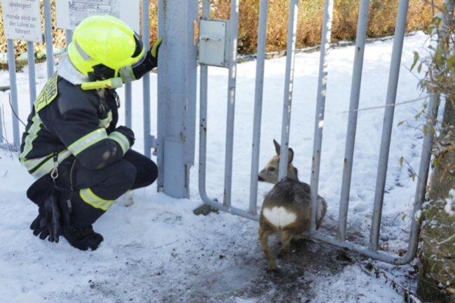 """<p>Das Tier war an der Gartenanlage """"Frischborn"""" zwischen den Gitterstäben des Eingangstores hängen geblieben.</p>"""