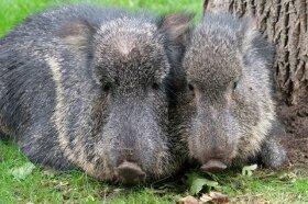 <p>Die Chaco-Pekaris scheinen sich bereits wohlzufühlen in ihrem neuen Domizil. Die Tiere gehören zu den sogenannten Nabelschweinen.</p>