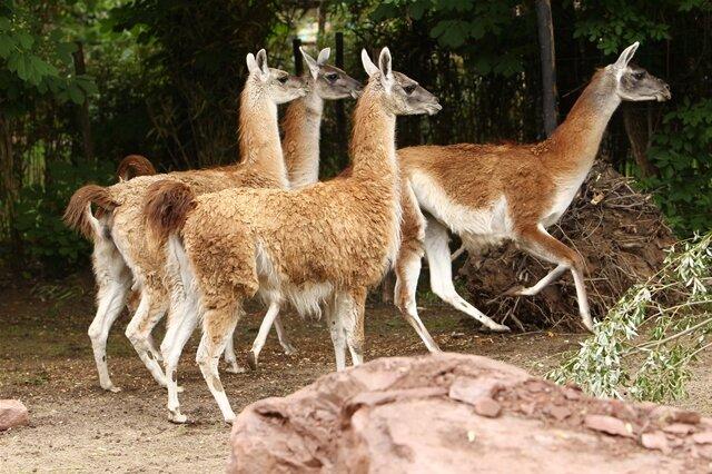 <p>Lamas dürfen natürlich in einer Südamerika-Anlage nicht fehlen.</p>