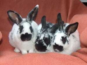 Rund 1400 Tiere werden am Samstag und Sonntag bei der 17. Gemeinsamen Kreisschau der Kaninchen- und Geflügelzüchter in der Vogtlandsporthalle Oelsnitz gezeigt. Geöffnet ist am Samstag von 9 bis 17 Uhr und am Sonntag von 9 bis 15 Uhr.