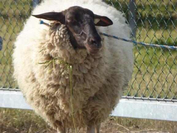 <p>Vermutlich sei das Tier durch ein Loch im Zaun entkommen, so die Polizei. Es wurde seinem Besitzer übergeben.</p>