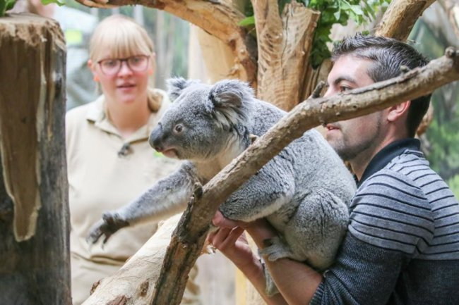 <p><br /> Koalas sind Einzelgänger.</p>