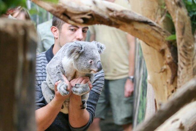 <p><br /> Der französische Tierpfleger Tom Collins bringt Koala Tinaroo in sein neues Zuhause im Zoo Leipzig.</p>