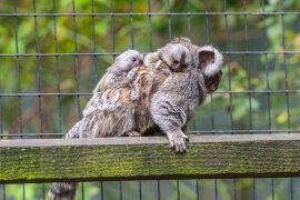 <p>In dem Zoo sind am 14. Juni zwei Weißbüscheläffchenbabys zur Welt gekommen.</p>