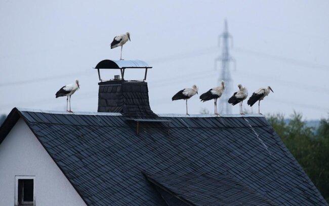 <p>Kurz gesagt: Die Weißstörche treffen sich in Waldenburg zum gemeinsamen Fressen.</p>