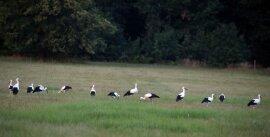 <p>Vor allem auf einer großen Wiesenfläche im Grünfelder Park sind bis zu 30 Weißstörche auf einmal gesichtet worden.</p>