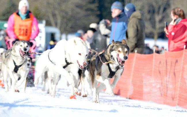 <p>Gestartet wurde ab 10 Uhr mit den großen Gespannen von sechs bis zwölf Hunden.</p>
