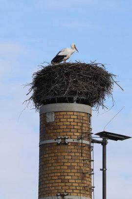 <p>Jedes Jahr im Frühling sucht ein Storchenpaar einen Nistplatz auf einem Schornstein in Wittgensdorf auf – wobei unklar ist, ob es sich immer um dasselbe Paar handelt. Und jedes Jahr packen die Weißstörche ein bisschen was drauf auf ihren Horst. Auf zwei Meter Breite und einen Meter Höhe war das Nest zuletzt angewachsen – zu viel.</p>