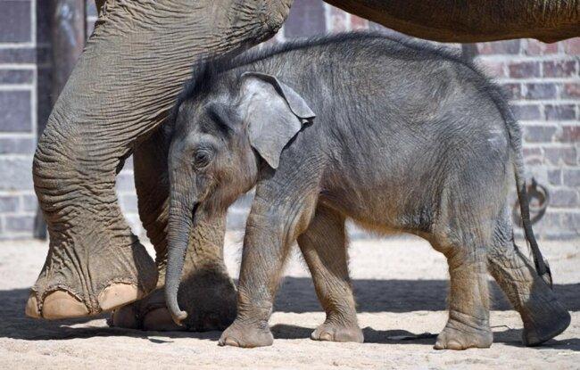 <p>Mama Hoa und ihr Elefantenkind haben eine schwierige Beziehung. Seit der Kleine auf der Welt ist, hat die Mutter wenig mütterliches Verhalten und Interesse gezeigt. Die beiden wurden deshalb mit den «Elefantentanten» Don Chung und Rani zusammengeführt.</p>