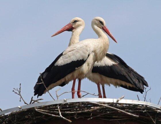 <p>Die beiden Vögel turteln intensiv miteinander. Die Waldenburger drücken jetzt kräftig die Daumen, dass es dieses Jahr nun erstmals mit Nachwuchs bei den Adebaren klappt.</p>