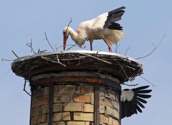 <p>Voriges Jahr war dann ein Storch nur auf einen kurzen Abstecher auf den Horst, wie das Nest genannt wird, gekommen.&nbsp;</p>