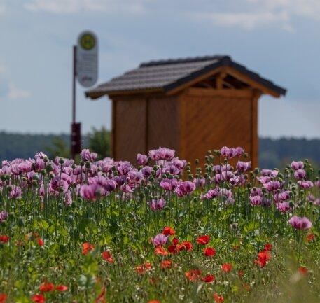<p>Schon am 4. Juni war zu erkennen, dass der Mohn langsam verblüht und das bunte Spektakel in ein paar Tagen vorbei ist. In einigen Wochen gibt es aber voraussichtlich die Blüte des Sommermohns, der ebenfalls angebaut wird.&nbsp;</p>