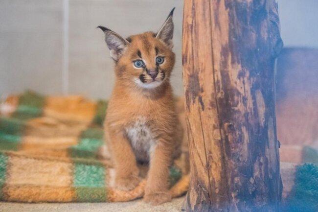 <p>Karakale sind wildlebend in Afrika und im Nahen Osten zu finden. In Deutschland werden sie nur in fünf Zoos gehalten.</p>