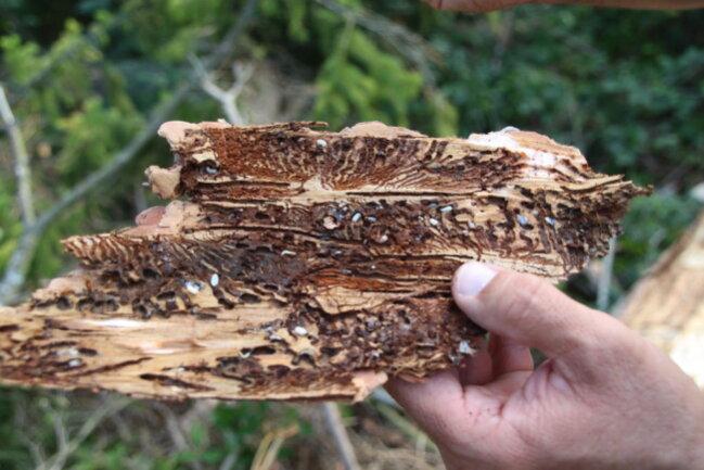<p>Unmengen von Schadholz und Hitze bieten Schädlingen in Sachsen Wäldern ideale Bedingungen.</p>