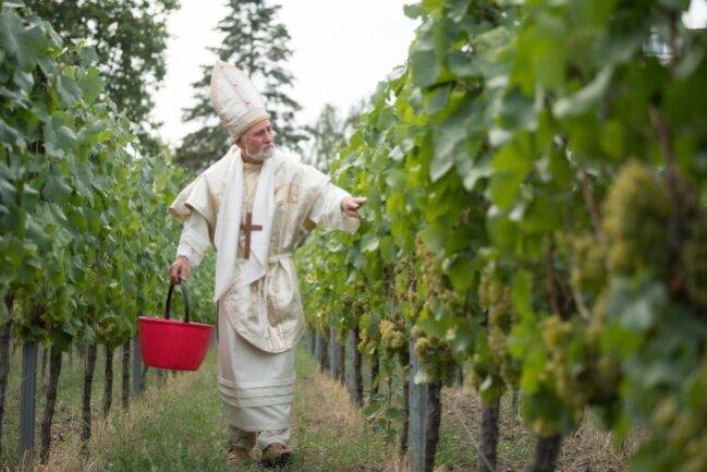 <p>Der Winzer Dietmar Franke steht anlässlich des offiziellen Beginns der Weinlese im Bischofskostüm auf dem Ratsweinberg. Gestartet wird in Sachsen mit der Sorte Müller-Thurgau.</p>