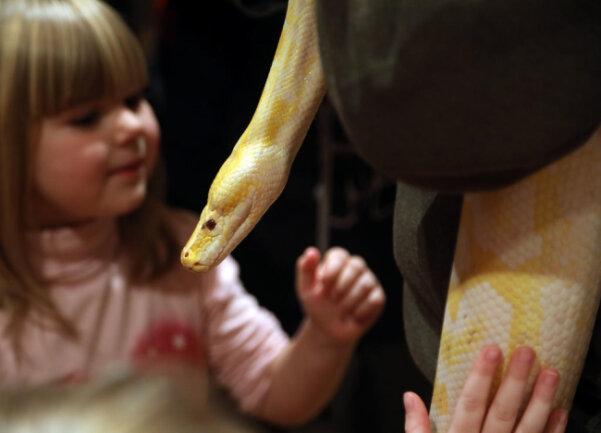 """<p><br /> Tierpfleger Christian Weber zeigte den Besuchern die Dunkle Tigerpython """"Albino"""", die drei Meter lang und 25 kg schwer ist.</p>"""