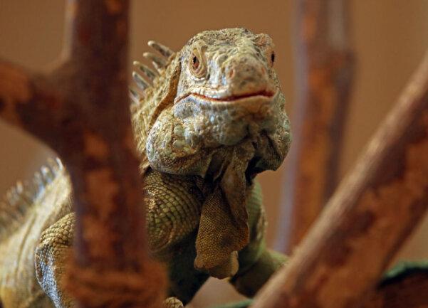 <p>Dieser Grüne Leguan ist 13 Jahre alt.</p>